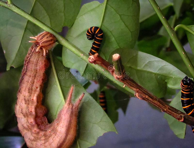Owl Butterfly Caligo memnon and Themisto Amberwing Methona th. Emisto caterpillars stock photos