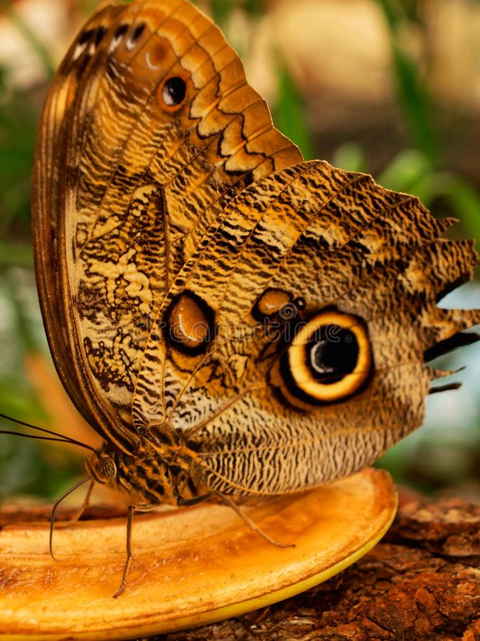 Owl Butterfly Eating Fruit stock foto's