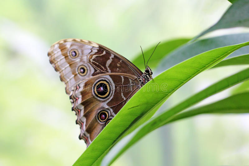Owl Butterfly on a leaf. Side view of an owl butterfly (Caligo memnon) on a leaf stock photo