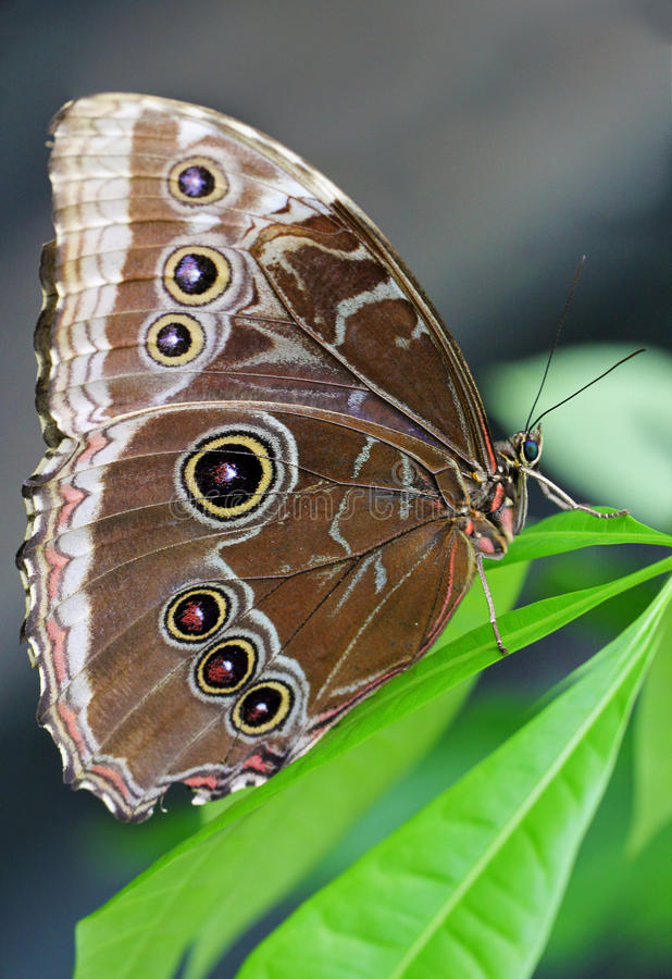 Owl Butterfly on a leaf. Side view of an owl butterfly (Caligo memnon) on a leaf royalty free stock images