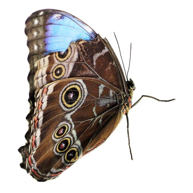 Owl Butterfly lokalisierte auf Weiß stockbild