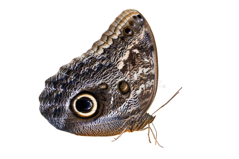 Owl Butterfly lokalisierte auf Weiß lizenzfreie stockfotos