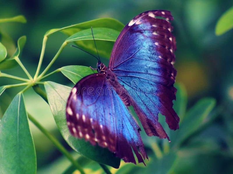 Owl Butterfly Purple en violette de mariposa de Costa Rica