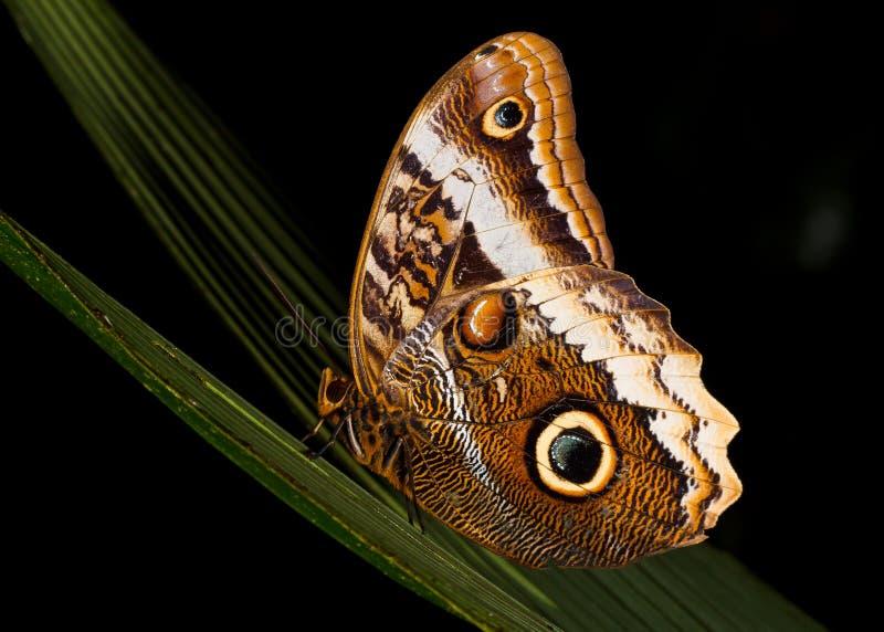 Owl Butterfly Resting bij Nacht royalty-vrije stock afbeeldingen
