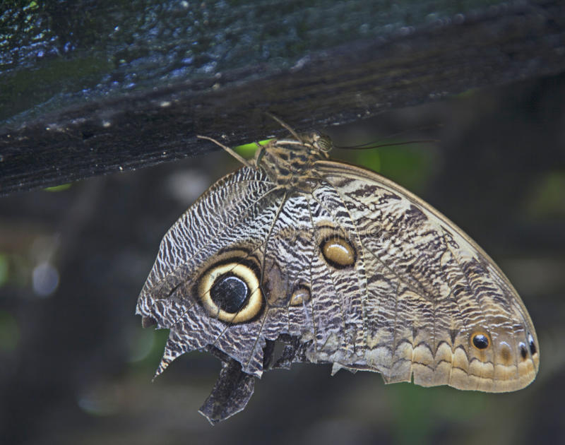 Owl butterfly rests on wood royalty free stock photos