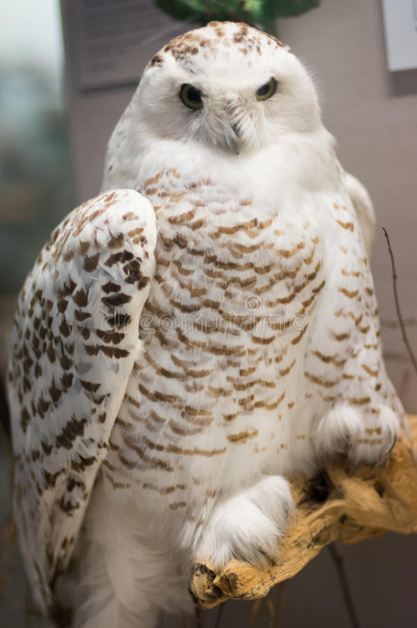 Owl. In a Chicago Field Museum royalty free stock photos