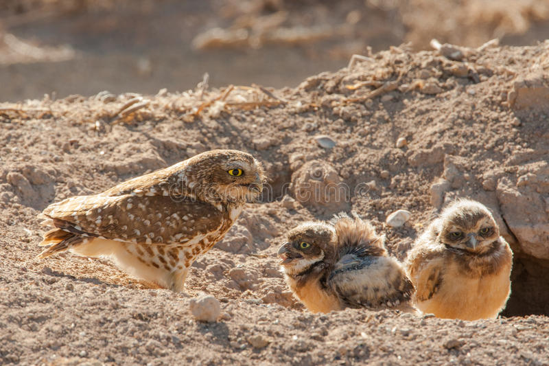 Owl Chicks With Adult stock photos