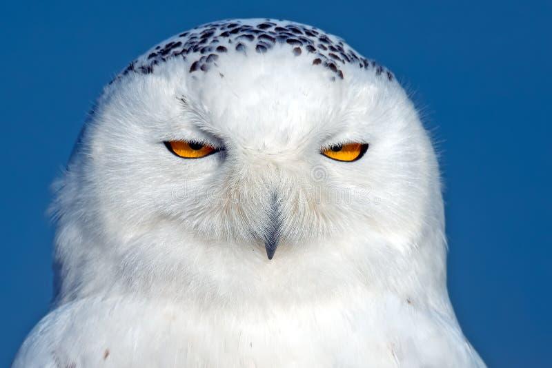 Owl Close nevado acima imagens de stock royalty free