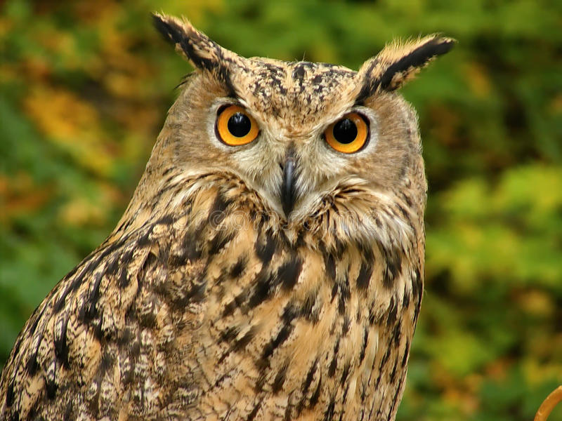 Owl. close-up royalty free stock images