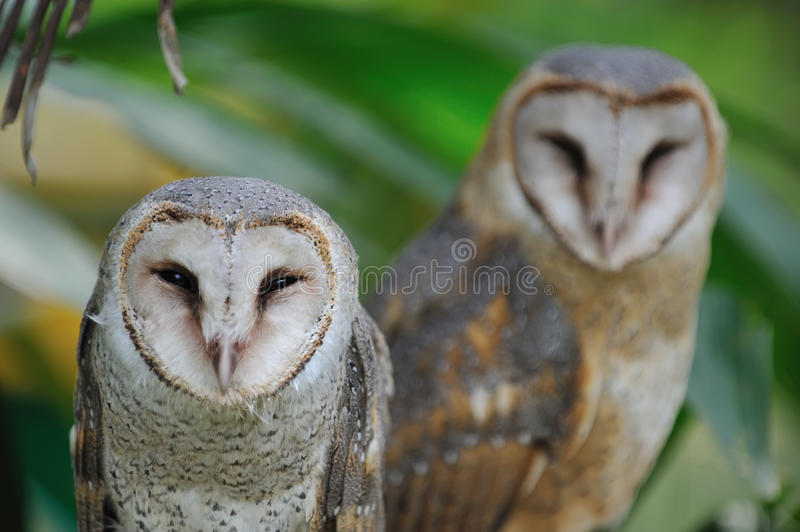 Owl couple. Photo of owl couple at conservation royalty free stock photos