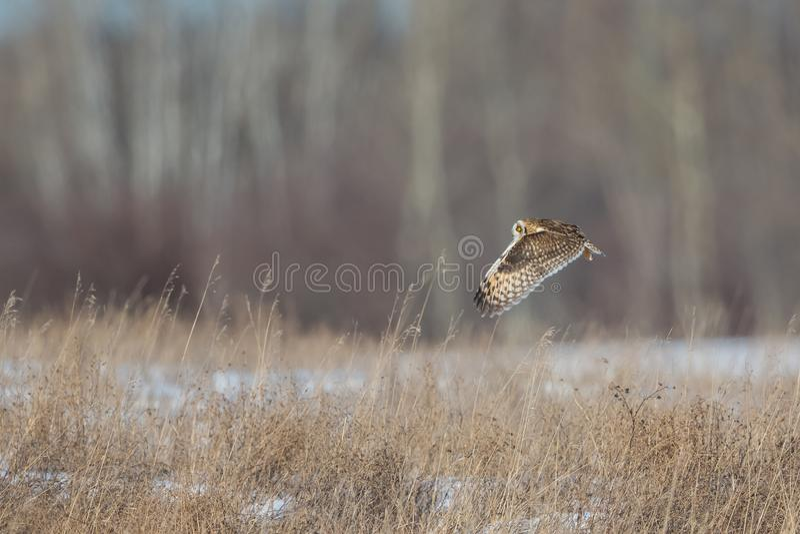 Owl Cruising Over Grass foto de archivo libre de regalías