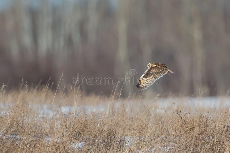 Owl Cruising Over Grass royalty-vrije stock foto