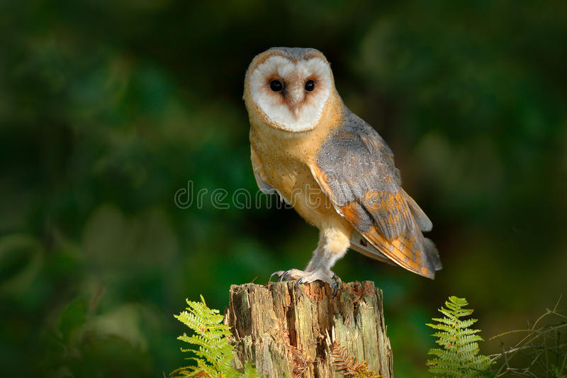 Owl in the dark forest. Barn owl, Tito alba, nice bird sitting on stone fence in forest cemetery with green fern, nice blurred lig. Owl in the dark forest. Barn royalty free stock photos