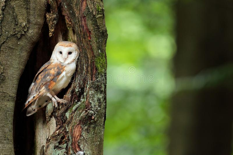 Owl in the dark forest. Barn owl, Tyto alba, nice bird sitting on the old tree stump with green fern, nice blurred light green the. Background, animal in the royalty free stock photography