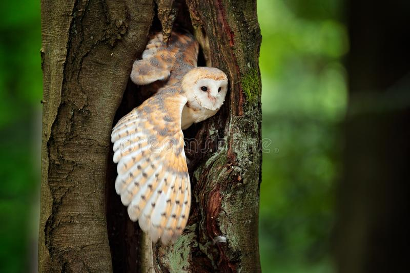 Owl in the dark forest. Barn owl, Tyto alba, nice bird sitting on the old tree stump with green fern, nice blurred light green the. Background, animal in the royalty free stock images
