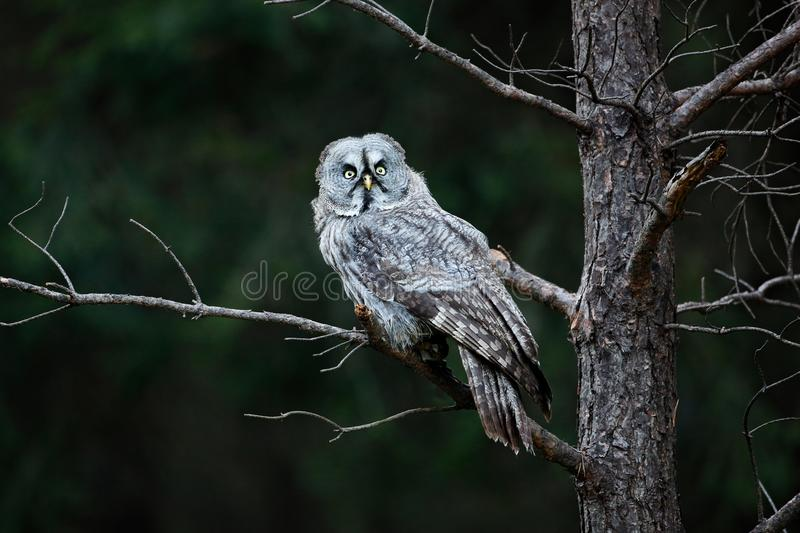 Owl in dark forest, Sweden. Great grey owl, Strix nebulosa, sitting on broken down tree stump with green forest in background. Wil. Owl in dark forest, Sweden royalty free stock photography