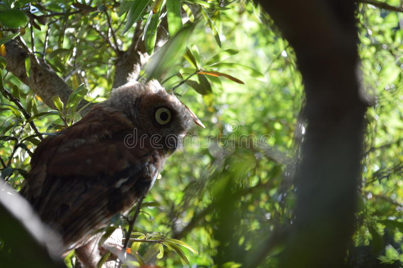 Owl in the day stock images