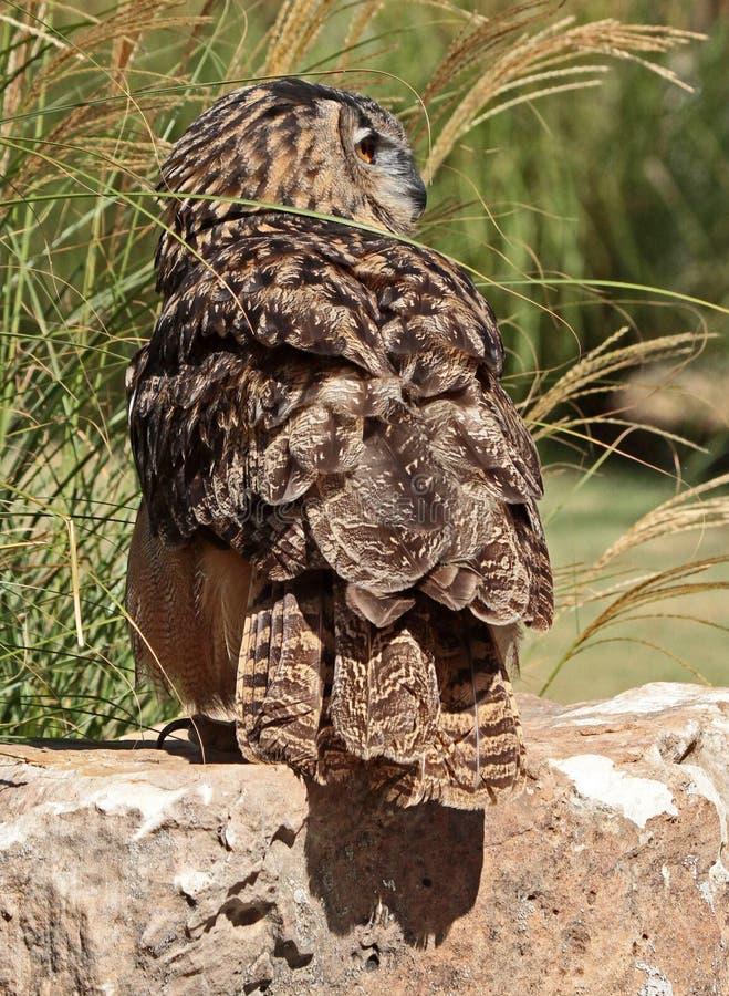 Owl. Detail Profile Portrait Of Eurasian Eagle Owl stock photos