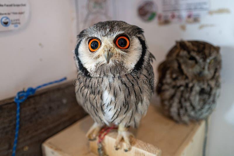 Owl in einem Owl Café in Tokio stockbilder
