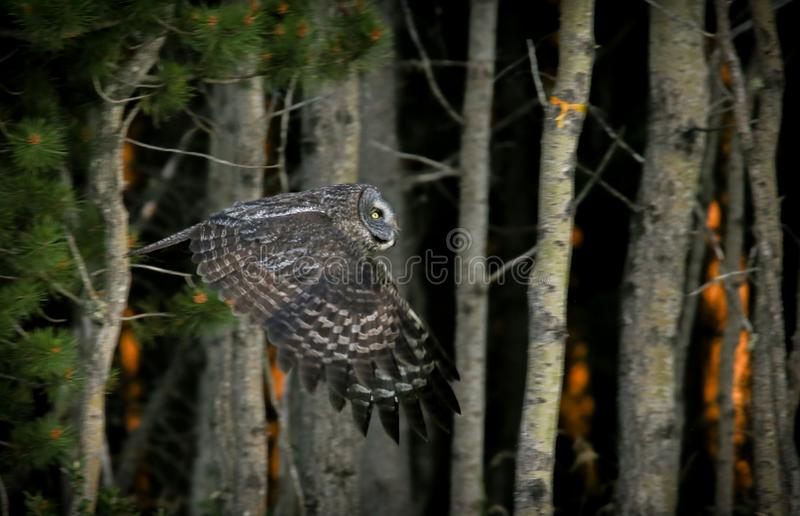 Owl Escaping Speading Forest Fire royaltyfri foto