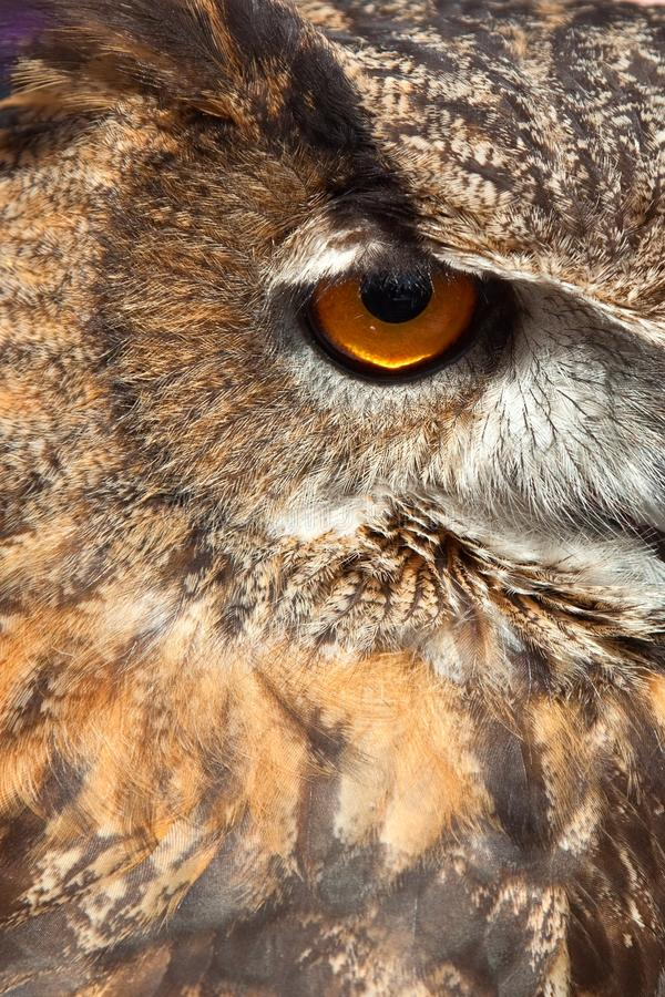 Download Owl Eye stock photo. Image of stare, wild, feather, watch - 14536828