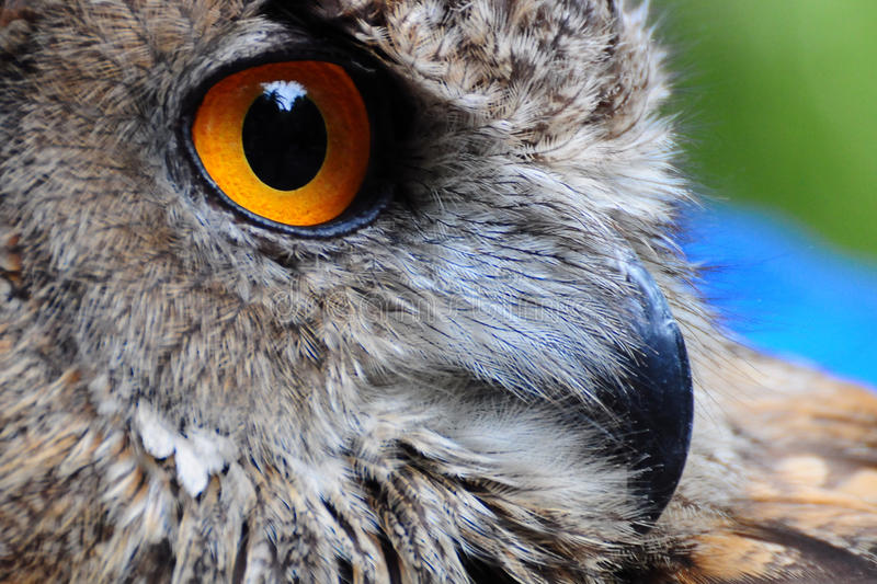 Owl Eye. Close up of a Great Horned Owl eye royalty free stock photo