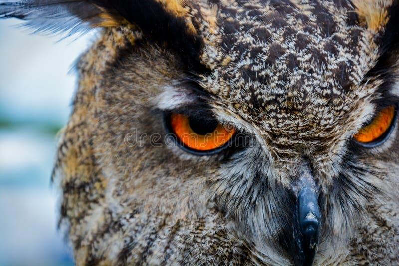 Owl Eyes - Roofvogel royalty-vrije stock foto's