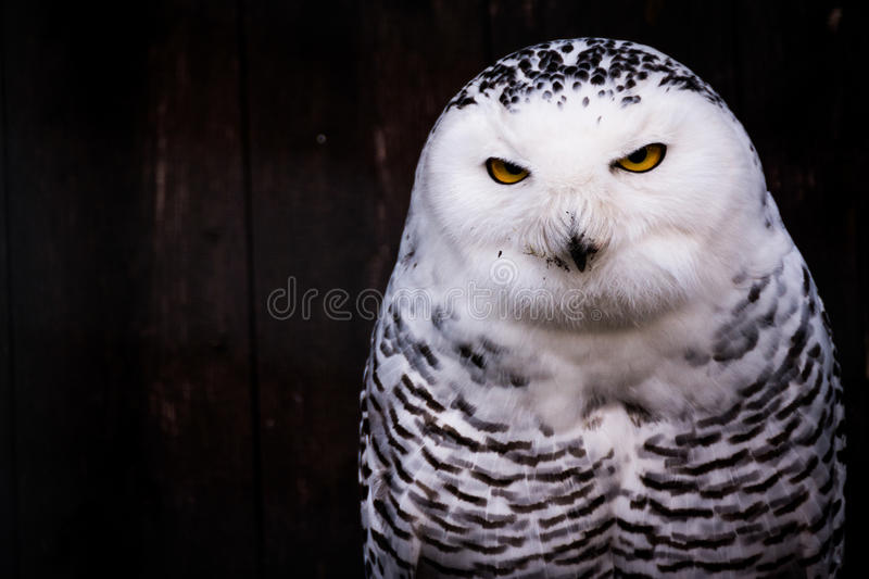 Owl Eyes Yellow Stare Beak manchado negro blanco foto de archivo