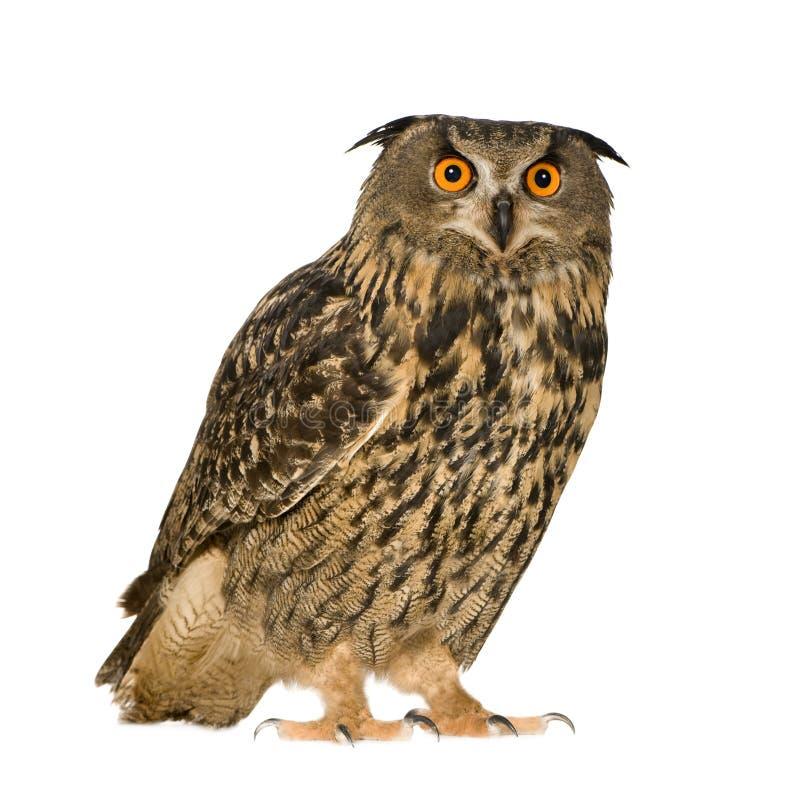 owl för 22 månader för buboörneurasian royaltyfria bilder