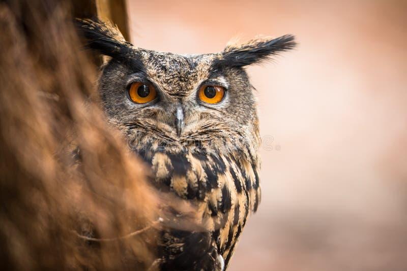 owl för closeupörneurasian arkivbilder