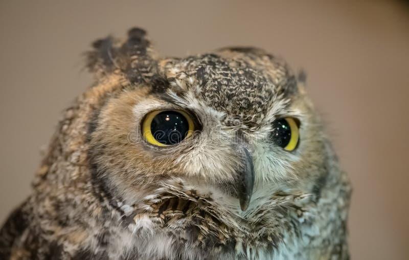 owl för closeupörneurasian royaltyfria bilder