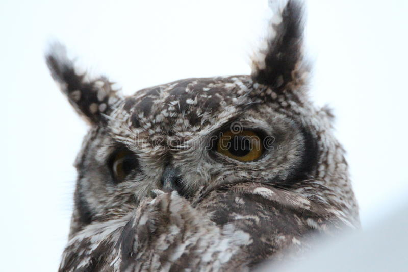 Owl Face fotografia de stock royalty free