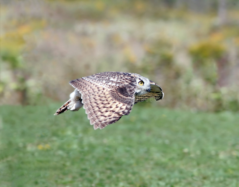 Owl in flight royalty free stock photos