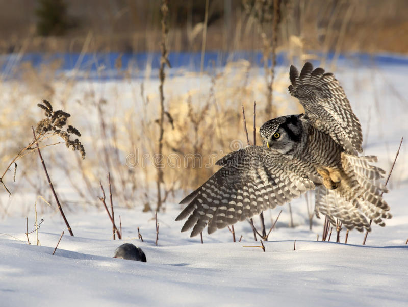 Owl in flight. Close up of a Northern Hawk Owl, in flight, focused on his prey. Soft, afternoon lighting stock photography