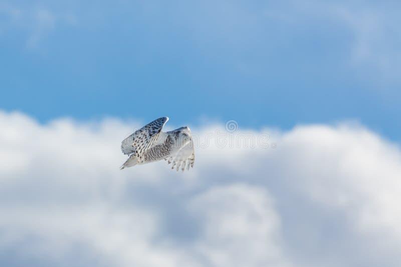 Owl Flight nevado imagem de stock