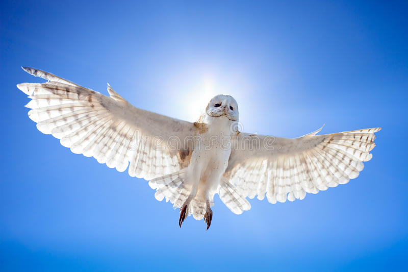 Owl in fly. Owl fly in sky against the sun