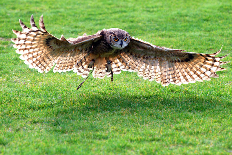 Owl Flying. Great horned owl flying over the grass royalty free stock images