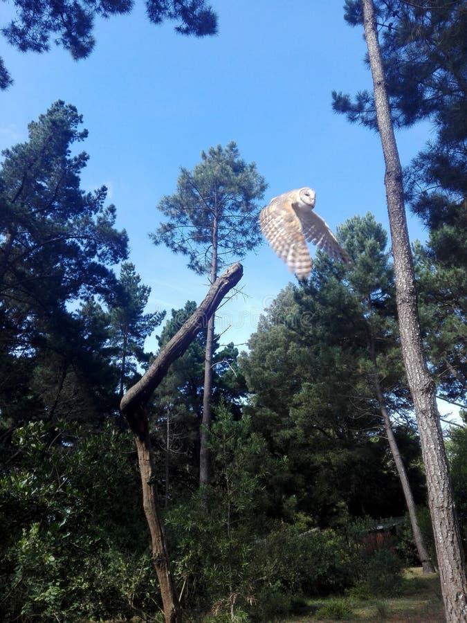 Owl Flying fora de um ramo foto de stock