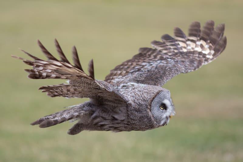 Owl flying. Great grey owl in level flight. Beautiful bird of pr stock photo