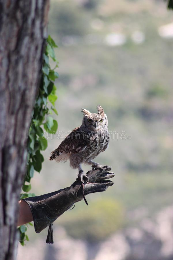 Owl before flying. Owl, as magical as it is beautiful. Moment before taking his impressive flight royalty free stock photo