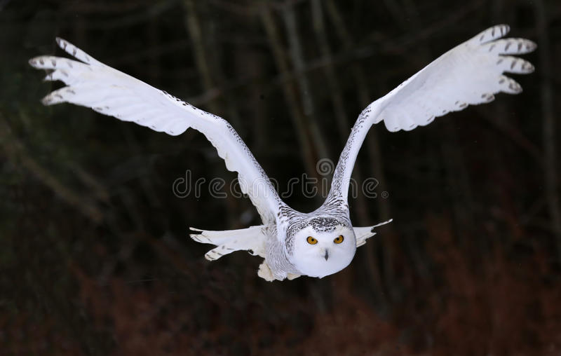 Owl Flying Right At You nevado fotografia de stock
