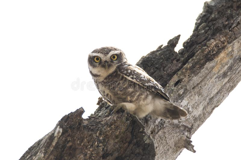 An owl staring from a beautiful perch royalty free stock image