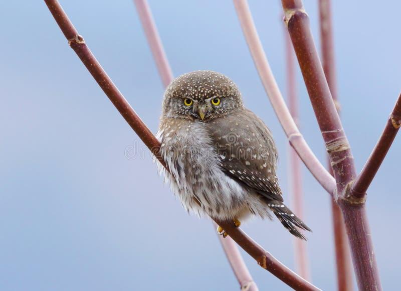 Owl - Glaucidium gnoma royalty free stock photo