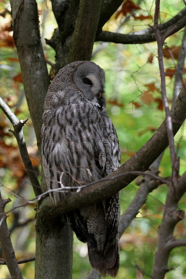 Owl, Great Grey Owl, Bird, Fauna royalty free stock photo