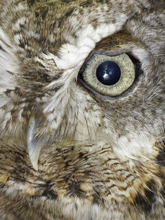 Owl of grey owl royalty free stock image