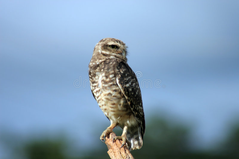 Download Owl_On Guard stock photo. Image of guard, wild, beauty, closeup - 71848