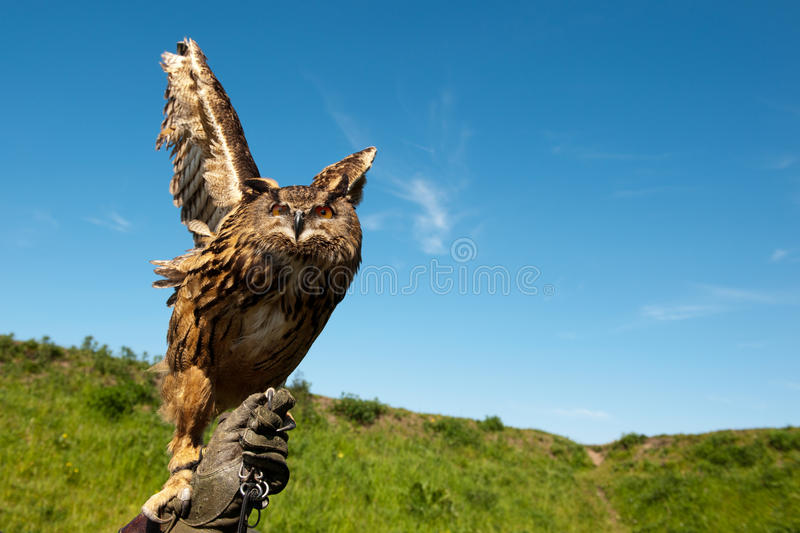 Owl on hand with glove. Owl on hand with leather glove of a falconer stock photo