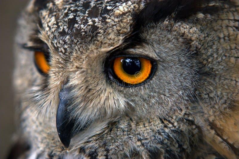 Owl head closeup. Owl head with huge orange eyes closeup stock photos