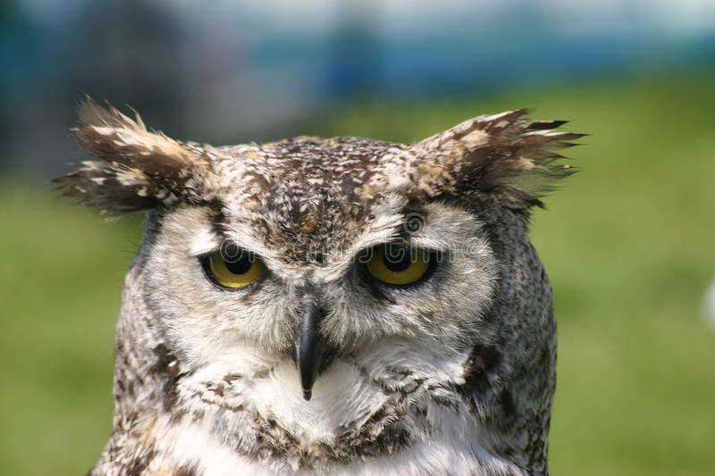 Owl head and neck. Head and neck of an owl with the face with yellow eyes looking directly ahead. Grass and people blurred in the background royalty free stock images
