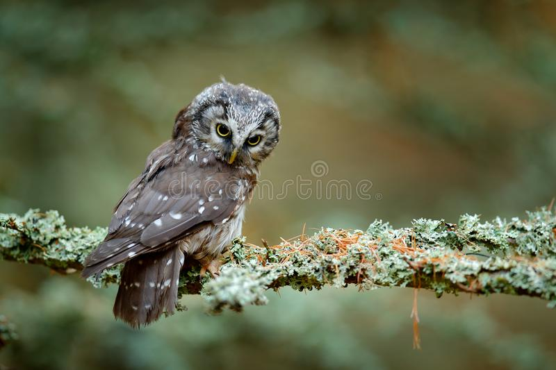 Boreal owl in the orange leave autumn forest in central Europe. Detail portrait of bird in the nature habitat, France. Owl hidden stock image